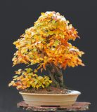 Hornbeam bonsai with snow cap Stock Images