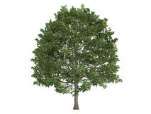 Hornbeam_(Carpinus) Royalty Free Stock Images