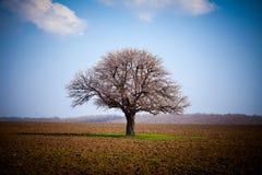 Hornbeam (Carpinus Betulus). European hornbeam (carpinus betulus) in a ploughed land Royalty Free Stock Images