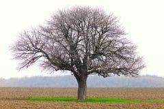 Hornbeam (Carpinus Betulus) Stock Images