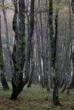 Hornbeam, Carpinus betulus Stock Images