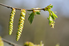 Hornbeam catkin on a twig Royalty Free Stock Photos