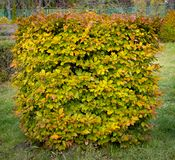 Hornbeam decorative tonsured a round shape with a slot in the center.  Stock Photography