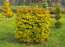 Hornbeam decorative tonsured a round shape with a slot in the center.  Stock Image