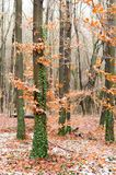 Hornbeam forest. Autumn forest of hornbeam. Yellow leaves on a tree and green trunk. Fight of summer and autumn. Royalty Free Stock Photo
