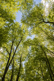 Hornbeam forest Stock Photography