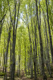Hornbeam forest Stock Photos