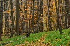 Hornbeam forest Stock Photo