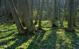 Hornbeam forest Stock Photo