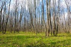 Hornbeam forest Stock Photography