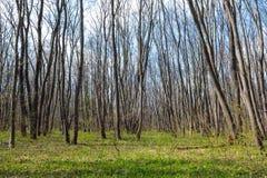 Hornbeam forest Stock Images
