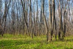 Hornbeam forest Royalty Free Stock Image