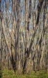 Hornbeam forest Stock Image