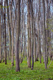 Hornbeam forest Royalty Free Stock Photo
