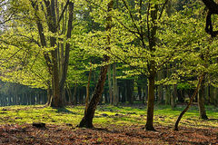 The hornbeam forest Royalty Free Stock Photo