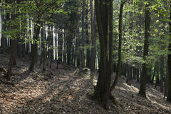 The hornbeam forest Stock Photography
