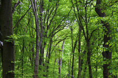 Hornbeam forest in spring Royalty Free Stock Photo