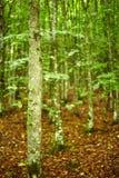 Hornbeam forest on summer Royalty Free Stock Image