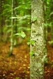 Hornbeam forest on summer Royalty Free Stock Photos