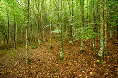 Hornbeam forest on summer Royalty Free Stock Photography