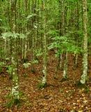 Hornbeam forest on summer Stock Images