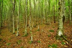 Hornbeam forest on summer Stock Photo