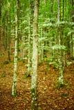 Hornbeam forest on summer Stock Photography