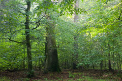 Hornbeam i oak trees Royalty Free Stock Image