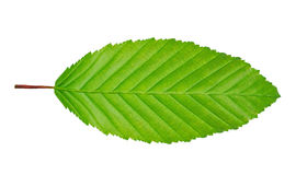 Hornbeam leaf. Isolated on white background Stock Photos