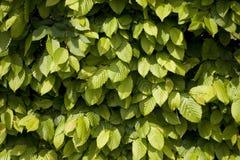 Hornbeam leaves. The texture of Hornbeam leaves Royalty Free Stock Photos