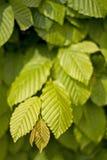 Hornbeam leaves. The texture of Hornbeam leaves Stock Image
