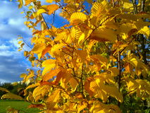 Hornbeam leaves in autumn. Hornbeam leaves dressed in the September sun stock photo