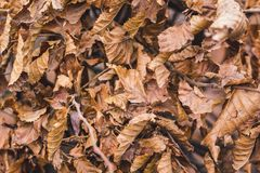 The hornbeam leaves the whole area as a background or a pattern_. The hornbeam leaves the whole area as a background or a pattern Stock Photos