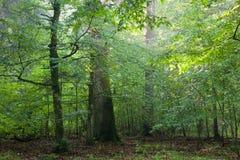 hornbeam mig oaktrees Royaltyfri Bild