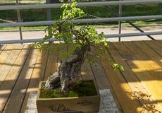 Hornbeam oriental - bonsai ao estilo de & x22; Em linha reta e free& x22; Fotografia de Stock Royalty Free