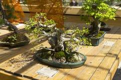Hornbeam oriental - bonsai ao estilo de & x22; Em linha reta e free& x22; Imagens de Stock