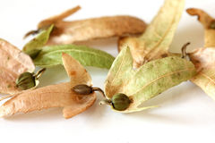 Hornbeam Seeds Royalty Free Stock Images