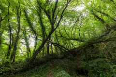 Hornbeam temperate forest Stock Photo