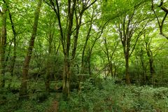 Hornbeam temperate forest Royalty Free Stock Images