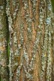 Hornbeam tree bark closeup Stock Photos