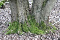 Hornbeam tree. Carpinus betulus with moss around the base and splitting into two trunks at ground level with a background of decaying leaves on a woodland floor Royalty Free Stock Photography