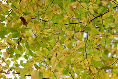 Hornbeam tree fall colors Royalty Free Stock Photo