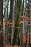 Hornbeam tree in forest. Hornbeam tree in forest - red autumn leaves Stock Image