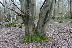 Hornbeam tree. Carpinus betulus with moss around the base splitting into two trunks at ground level with a background of woodland with decaying leaves on the Royalty Free Stock Photos