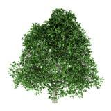 Hornbeam tree isolated on white Royalty Free Stock Image