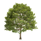 Hornbeam Tree Isolated. On white Royalty Free Stock Photos