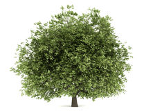 Hornbeam tree isolated on white Royalty Free Stock Photography