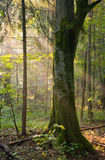 Hornbeam tree in a soft light. Old hornbeam tree in a soft early morning light, deciduous forest royalty free stock photo