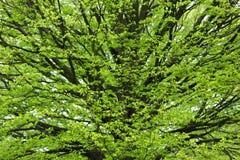 Hornbeam tree at spring. Fresh Hornbeam tree sprouting at spring Royalty Free Stock Photo