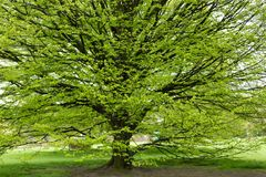 Hornbeam tree at spring Stock Photos